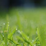 Zelený ječmen – účinky