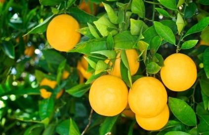 pomeranče na stromě