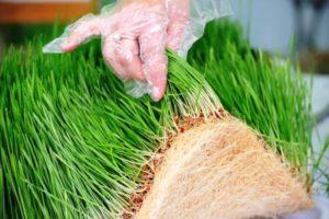 Zelený ječmen pěstován doma na výživném podkladu