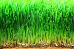 ječmen mladý zelený