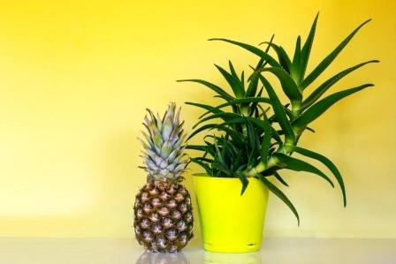 ananas v květináči pěstování