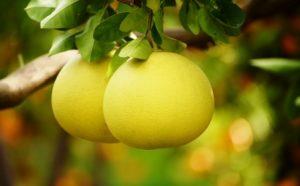pomelo - plody pomela na strome