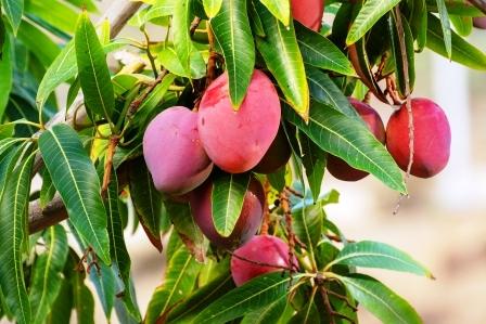 Tropicky mango strom s plodem