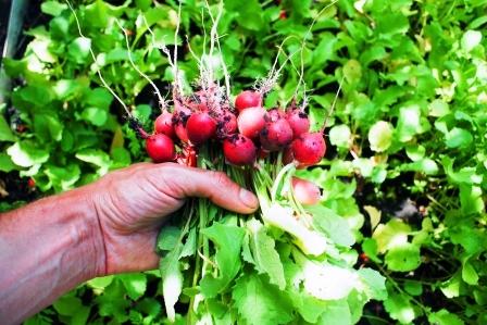cerstvo vybrate redkvicky ze zahradky