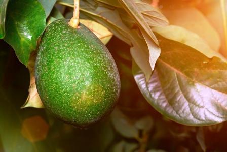 zralé avokádo na stromě jako plod