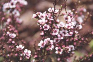 balmín metlatý kvet na konáriku