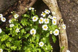 kopratina řimbaba rostlina s květy