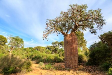 baobab strom