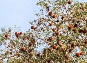 plody baobabu na strome
