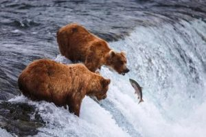 lososy v rieke a medvede