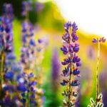 Lupina - květ na slnečné louce