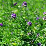 lucerna setá, Alfalfa, květ a rostlina