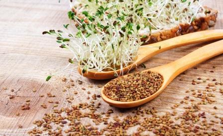 semena a klíčky lucerny seté