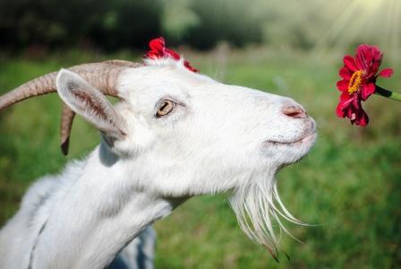 koza s květinou, kozí mléko
