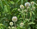 Bělotrn kulatohlavý je léčivá bylinka z níž se dělá tinktura…