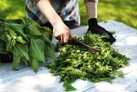 Žena seká zelené listy kopřivy