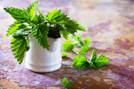 Léčivé čerstvé listy kopřivy
