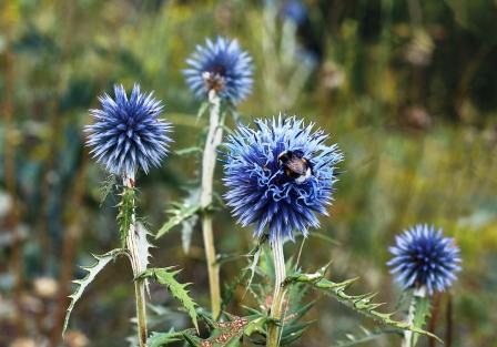 Modré kvety Echinops sphaerocephalus - bělotrn