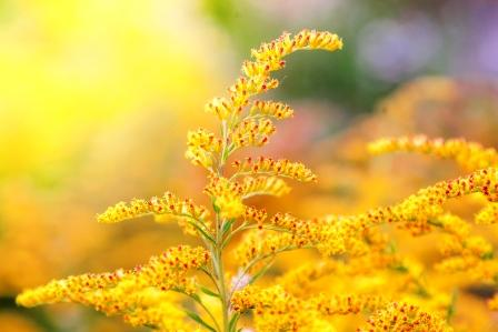 žluté květy zlatobyle
