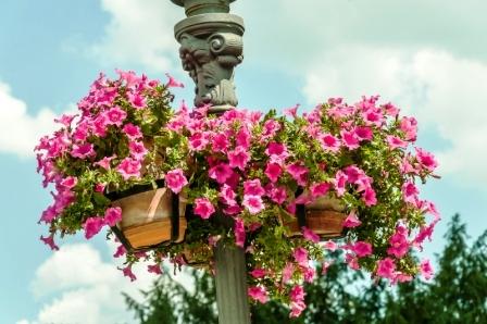 Krásné fialové květy v květináči na ulici