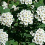 Kvitnúce květy tužebníka