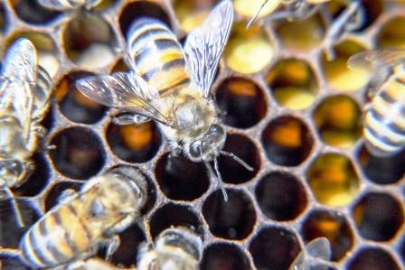 Včely medonosné a produkty