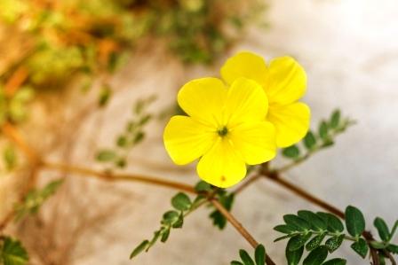 Zblízka kotvičníková květina na pláži
