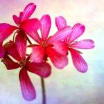 fialový muškátový květ