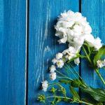 jasmínový květ rostlina