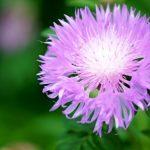 leuzea mařalí kořen květ
