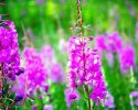 Kyprina úzkolistá nebo vrbovka úzkolistá je stejná léčivá bylina, podívejte se na ni!…