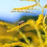 zlatobyľ léčivá rostlina s včelou