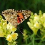 Farebný motýl na květe lnice