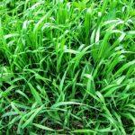 pýr plazivý tráva