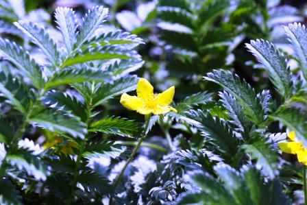 Kvety a listy mochny husi