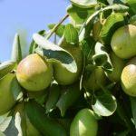 jojobova zelena rostlina