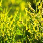 komonice lekarska bylina