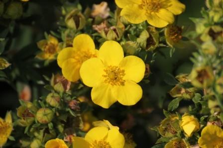 kvety mochny husi