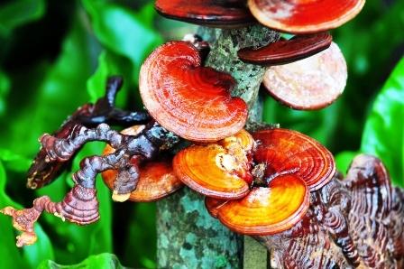Ganoderma lucidum je léčivá rostlina