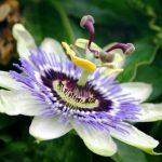 kvet mucenky