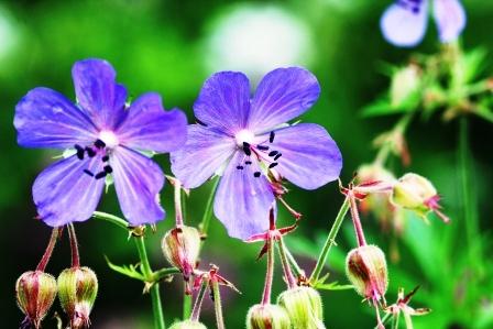 pakost lucny kvety