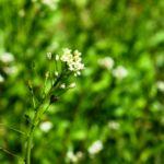 PASTYRSKA KAPSICKA - kvety