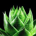 aloe vera rostlina