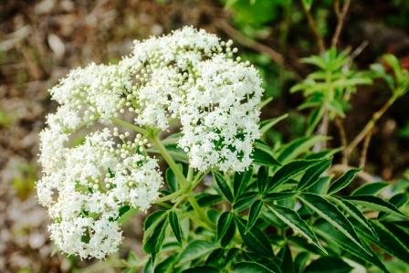 bily kvet kozliku se zelenym listem
