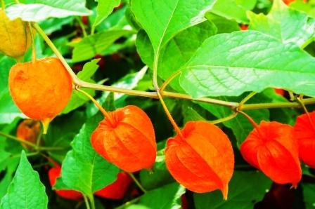 kvitnuce kvety Physalis