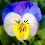 violka trojbarevna kvet