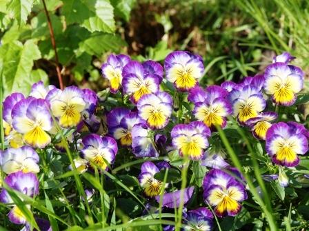 violka trojbarevna