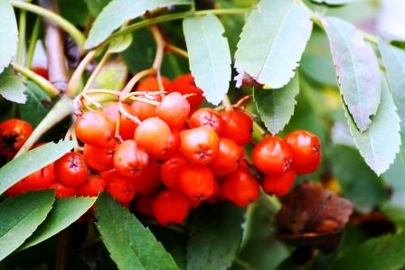 cervene plody jarabiny