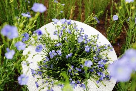 kytice kvitnoucich lnenych rostlin