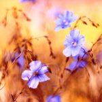 lnene kvety pole
